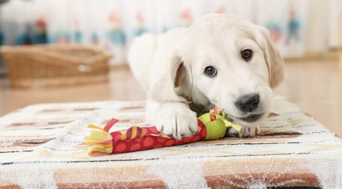 puppy-toy-iStock_000054130138_XXXLarge