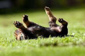 rolling-dog