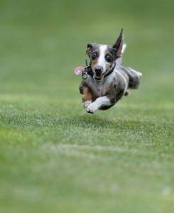 This dog's recall is so strong it's actually flying!