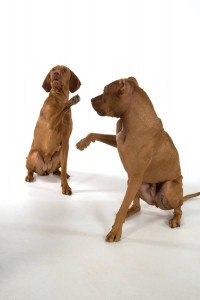 Paw lift is one of the Real Dog Yoga asanas (poses). It's a common trick, but teaching it is approached differently in Real Dog Yoga.