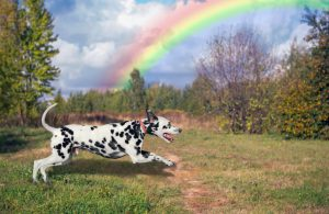 Dog Dalmatian running outdoors in beautiful green against the blue sky with clouds and a rainbow
