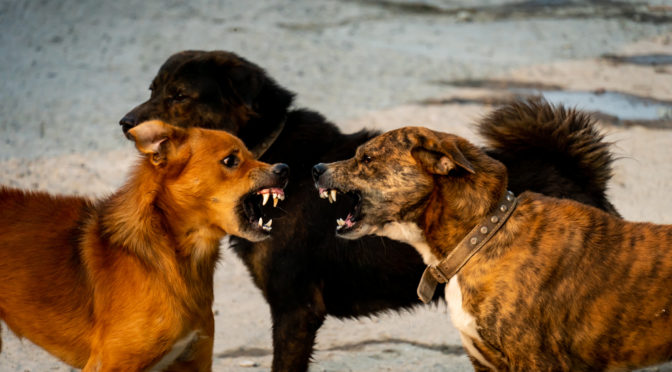 Live Course: Dog to Dog Aggression Cases With Michael Shikashio
